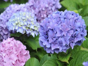 gallery-1429816817-blue-and-pink-hydrangeas