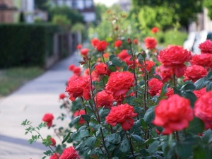 how-to-grow-roses-picture