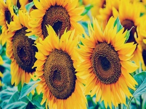landscape-1429816525-suprising-sunflowers-index