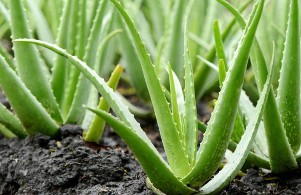 How-to-make-Aloe-vera-for-face